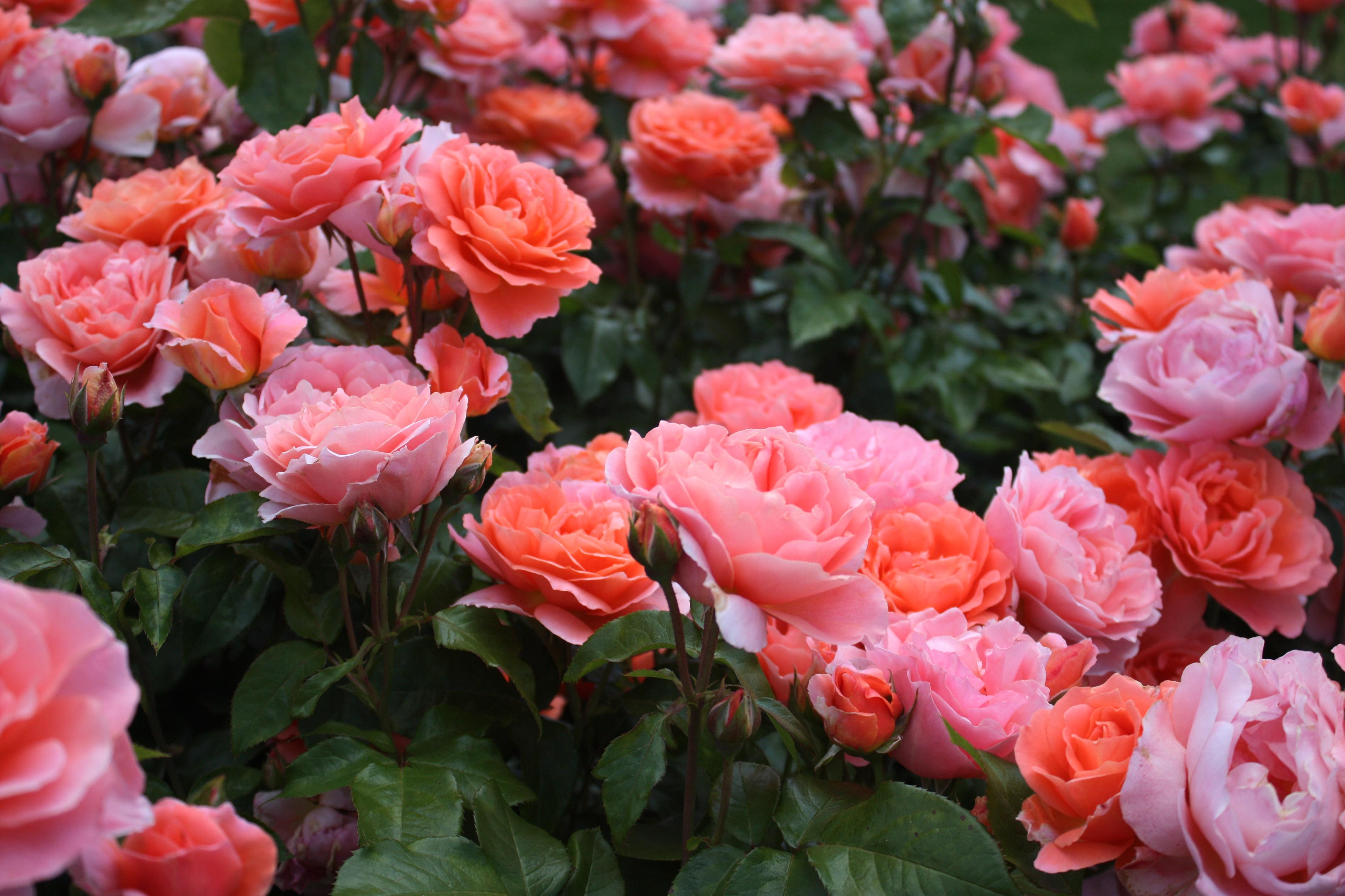 Как вырастить розы на даче и в домашних условиях? Посадка и уход на ydoo.info