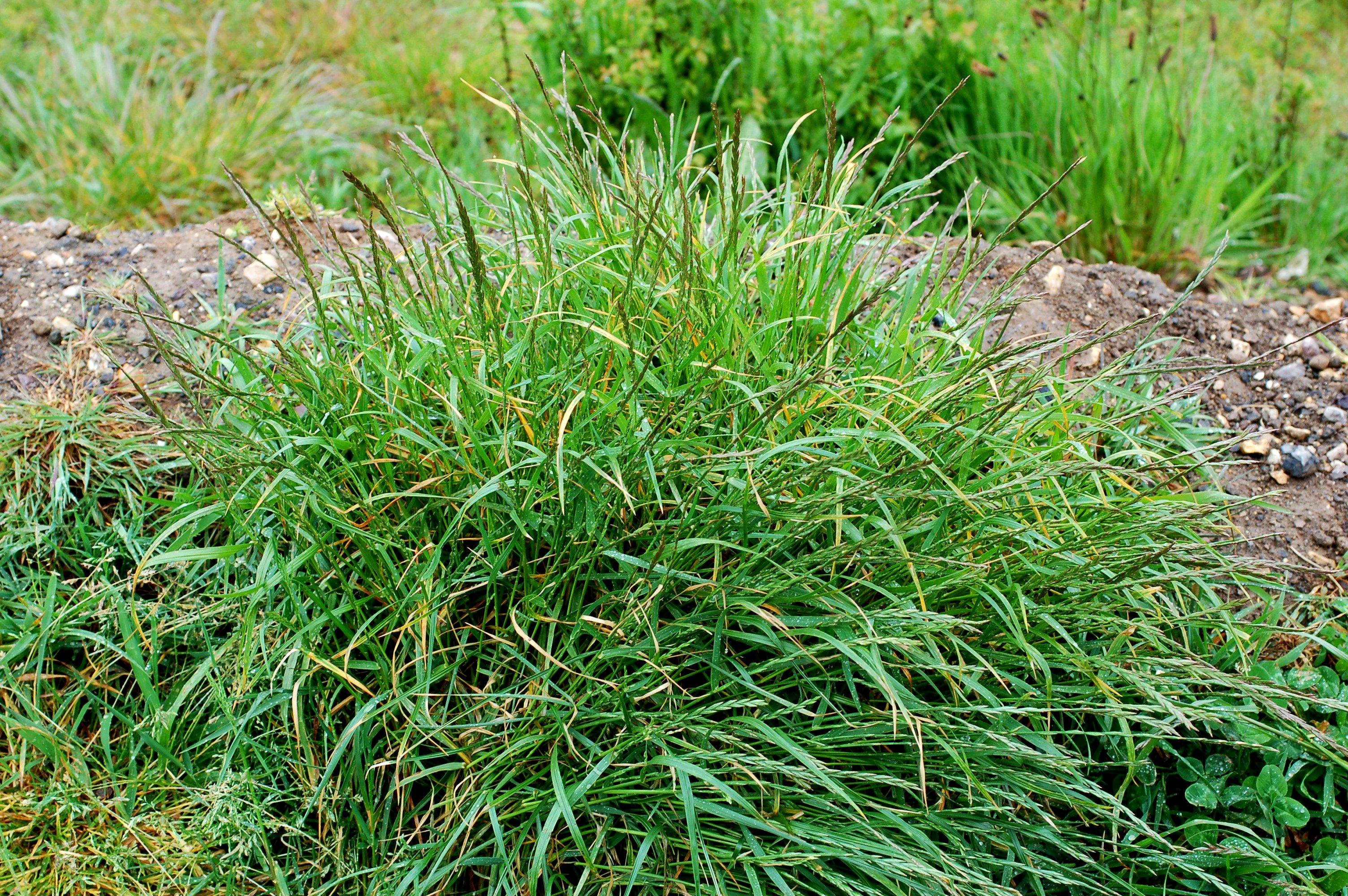 Пырей трава как вывести