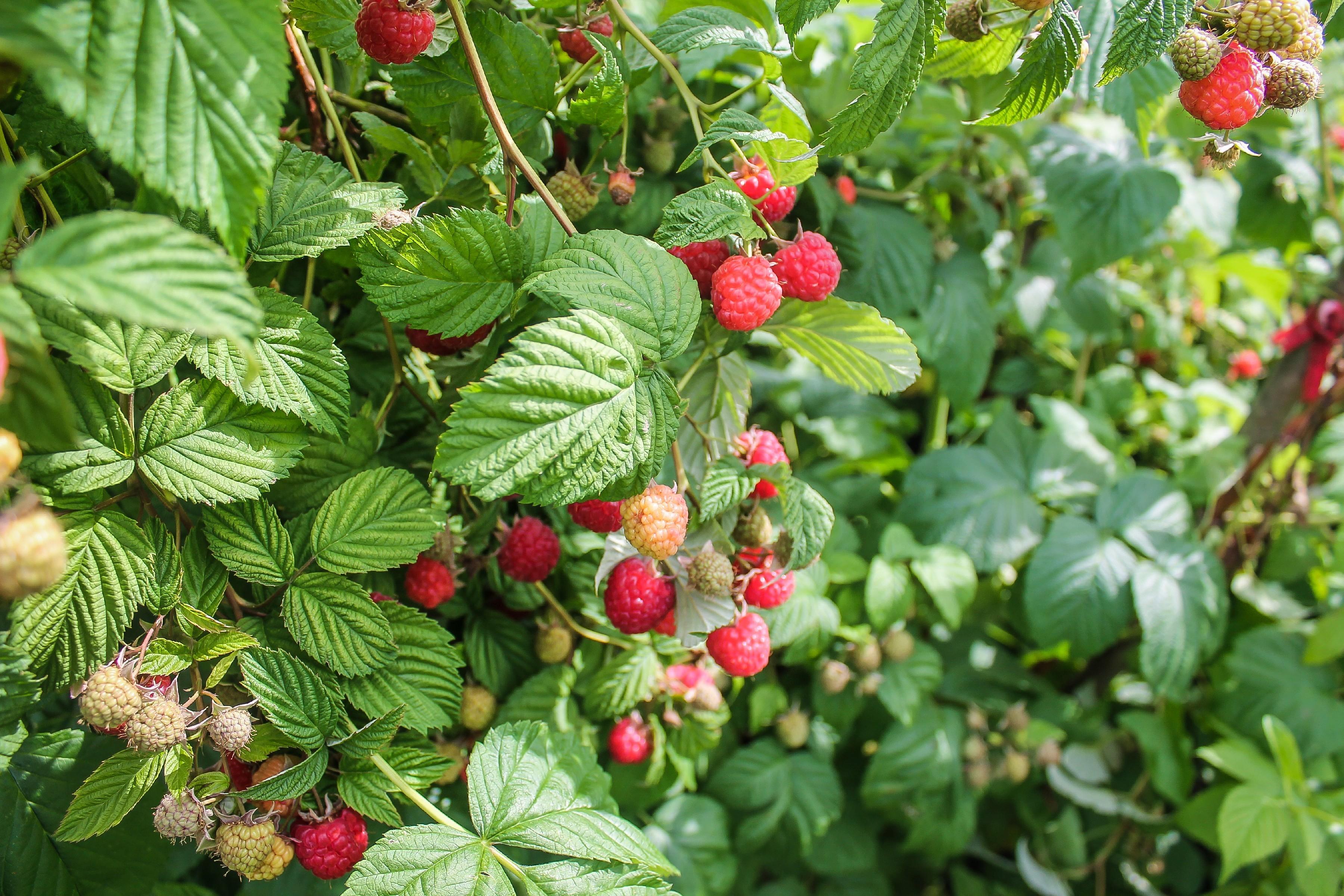 Картинка фото кустарника и ягоды