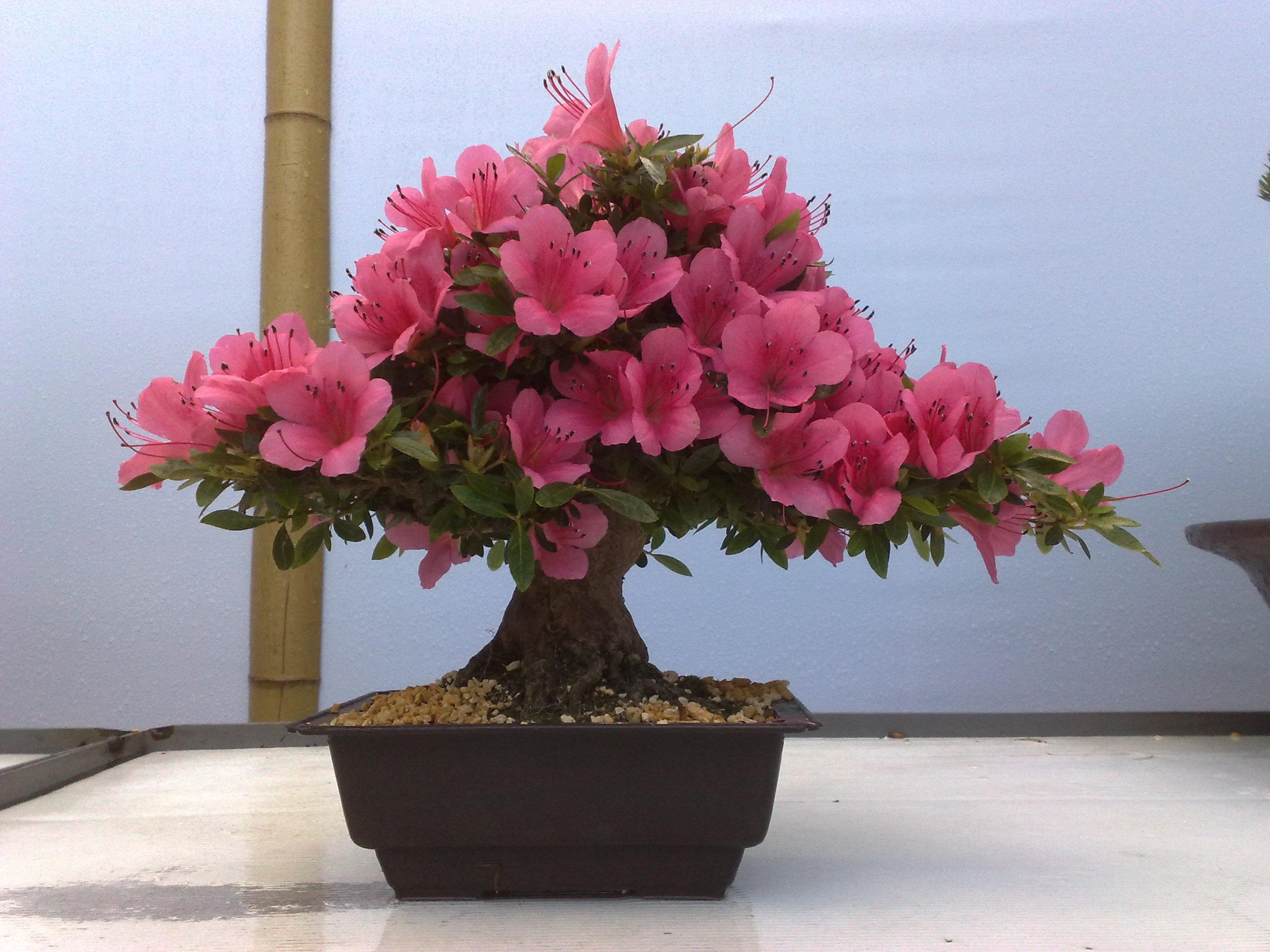для домашние цветы азалия уход за азалией фото завышаем искусственно цены