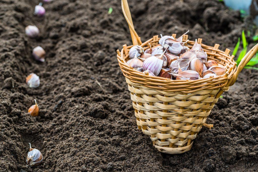 Эти способы помогут вырастить действительно крупный чеснок