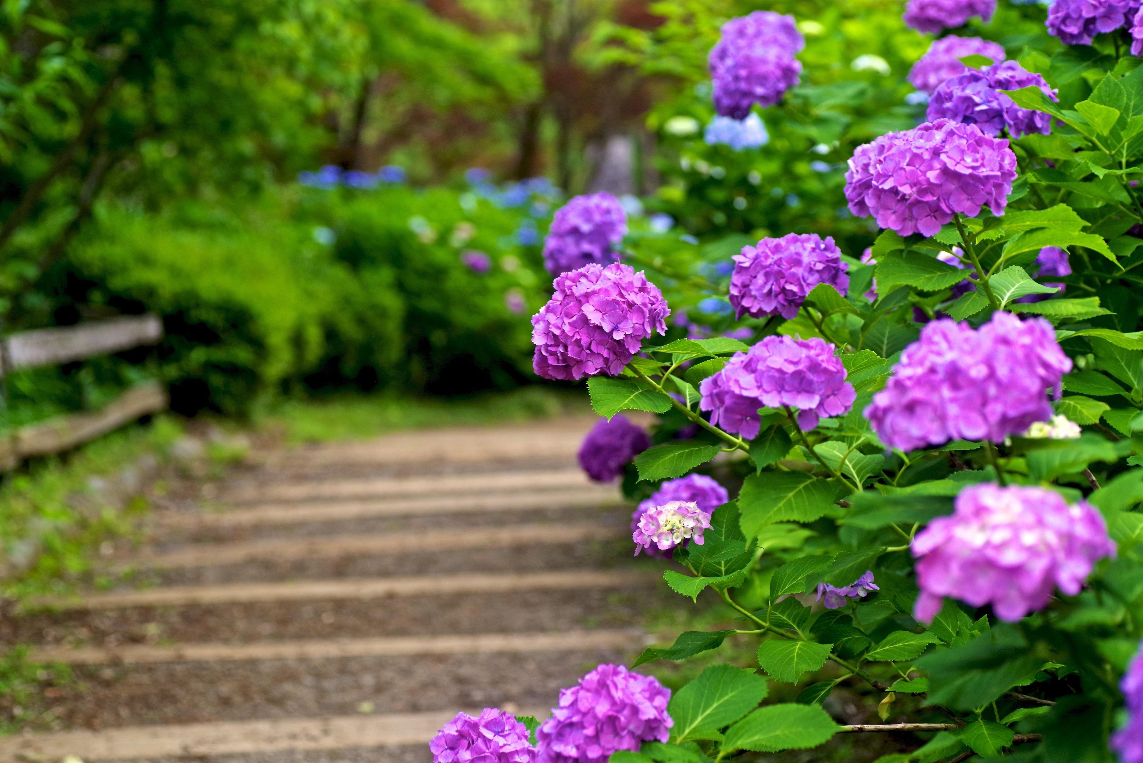 Как вырастить гортензии в саду и в квартире? – пошаговые инструкции на ydoo.info