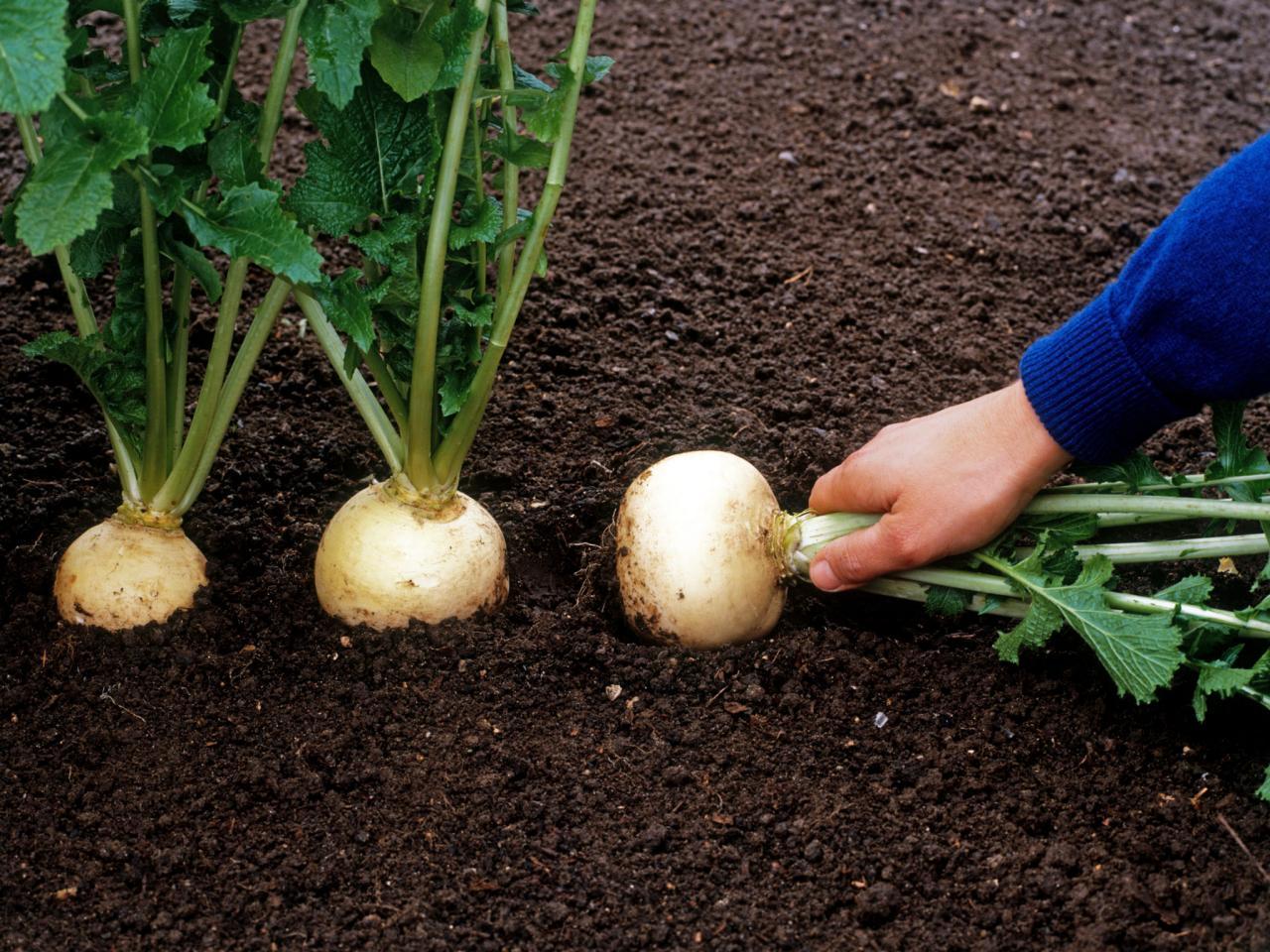 Как правильно вырастить репу на даче— проверенные советы