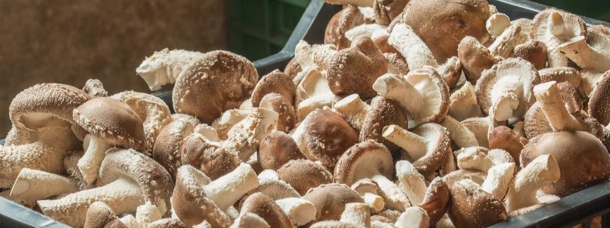 Грибы шиитаке – полезные свойства, разновидности грибов, использование в кулинарии на ydoo.info