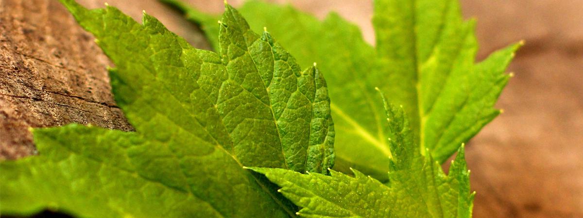 Лист черной смородины: лечебные свойства, как применять и употреблять