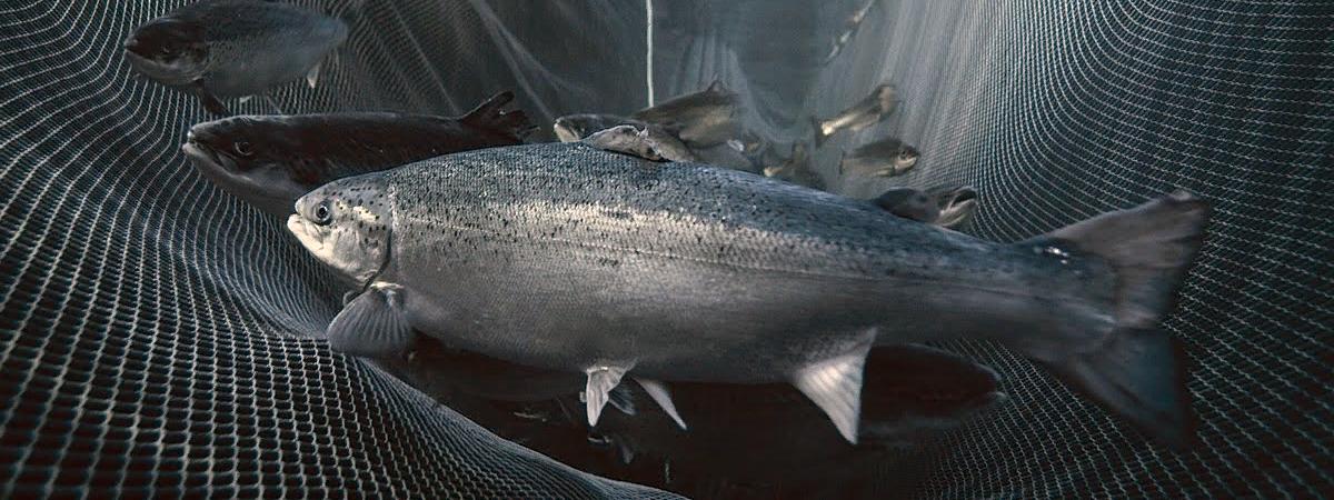 лосось в сетях