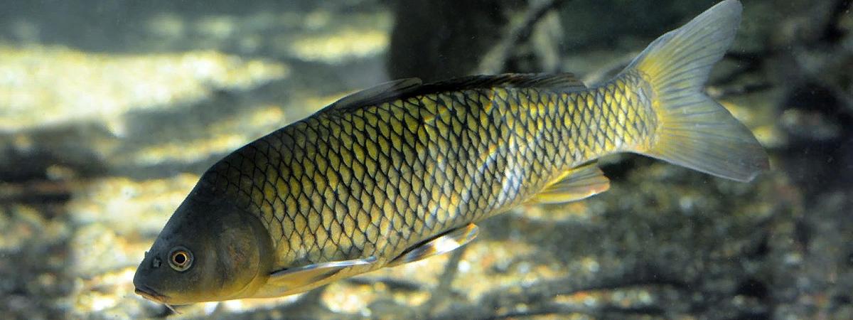 Сазан обыкновенный: что это за рыба, как выглядит