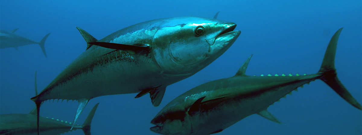 Как выглядит тунец свежемороженный