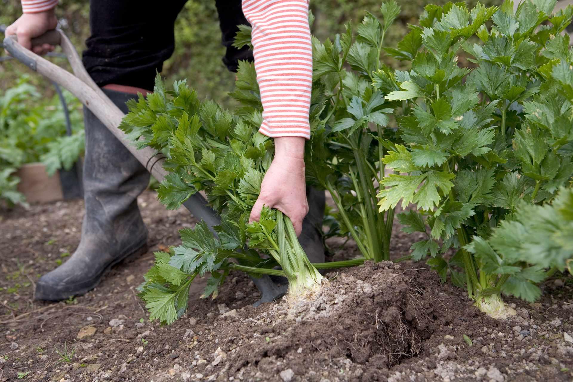 Можно ли выращивать сельдерей в домашних условиях?