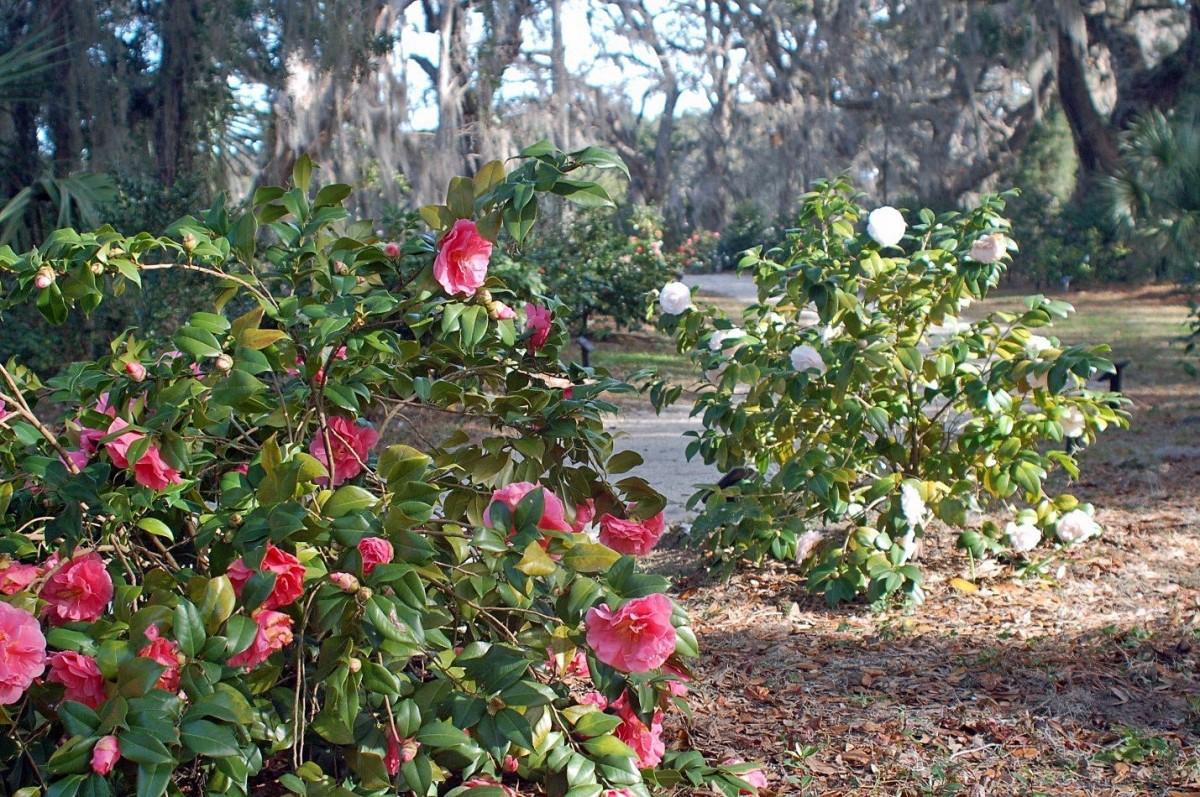 Камелия фото цветов садовая древовидная