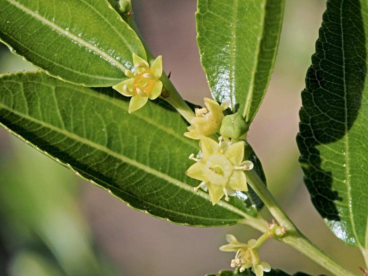 цветение зизифуса