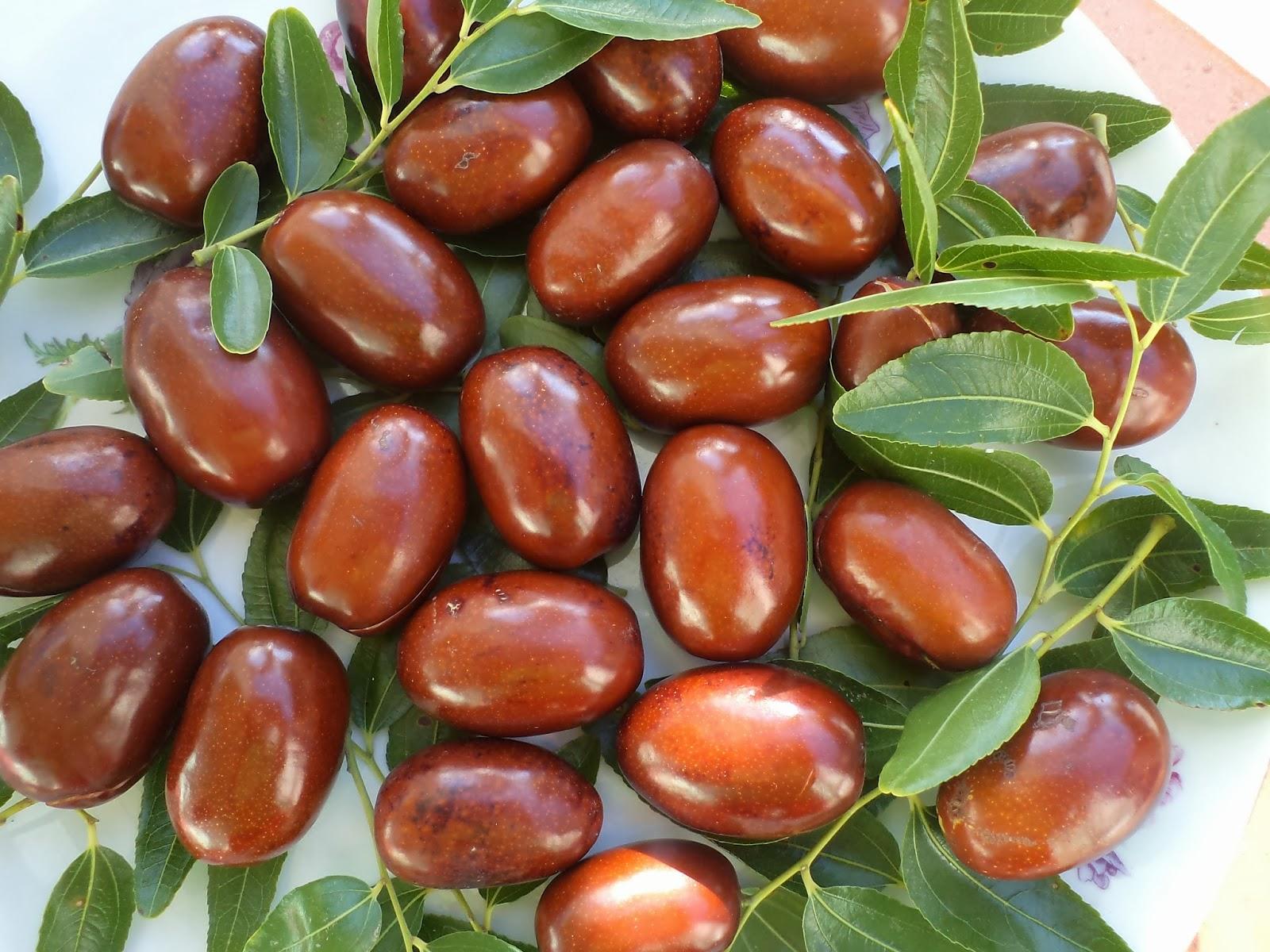 спелые плоды зизифуса на ветке