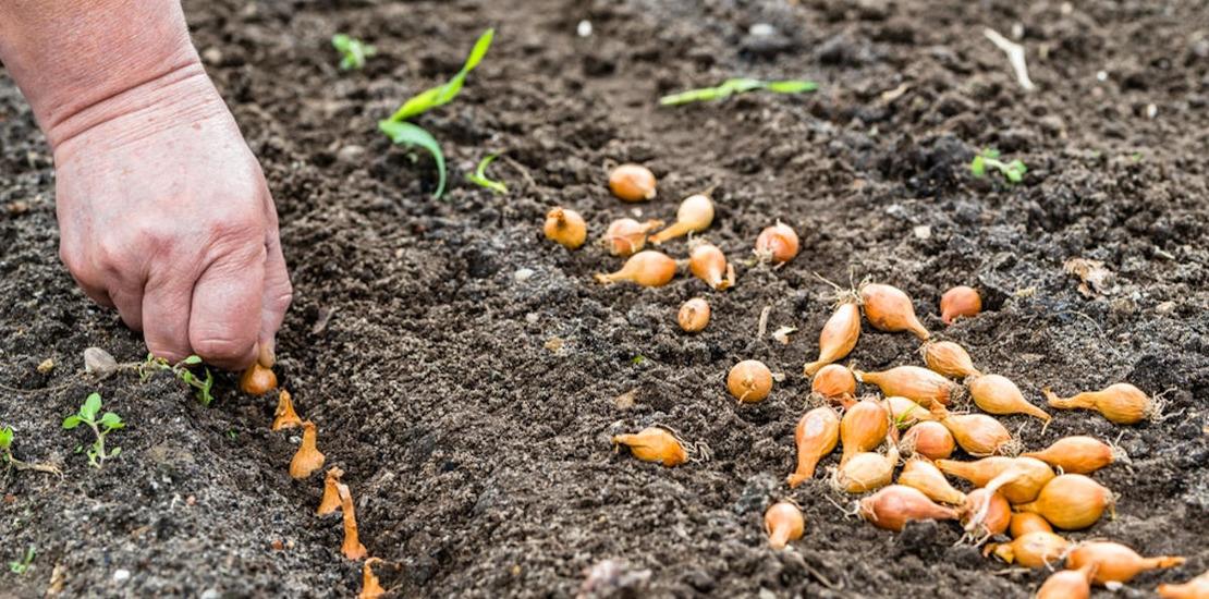 посадка лука в почву