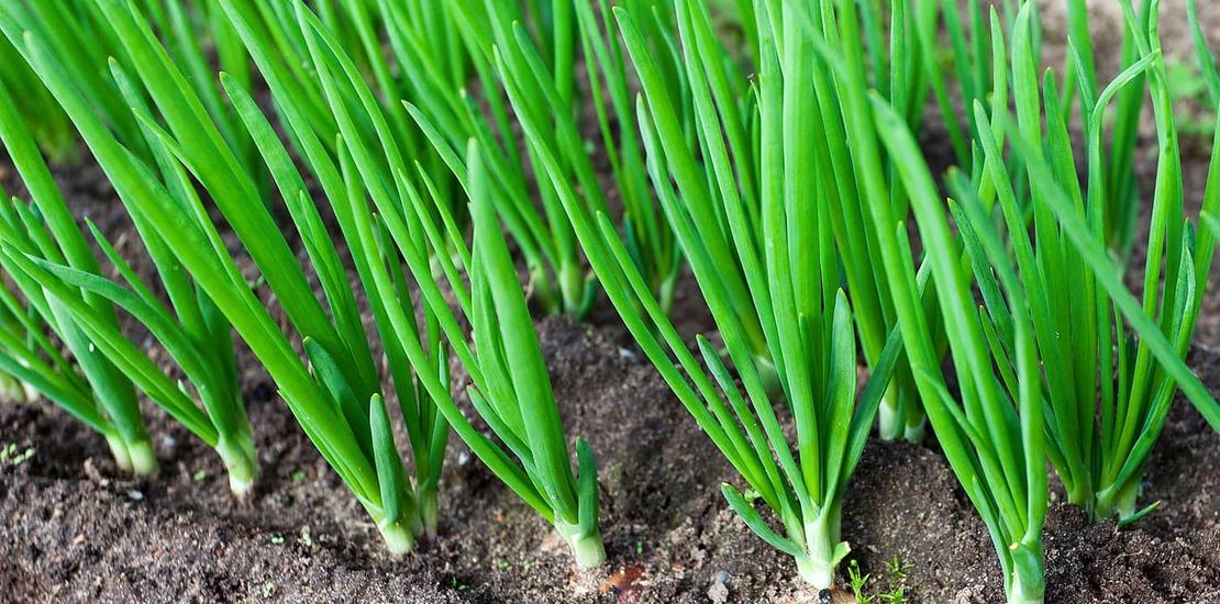 как растет белый лук