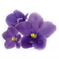 фото фиолетовых фиалок на белом фоне