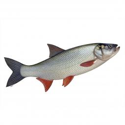 рыба жерех на белом фоне