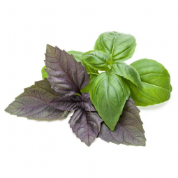 зеленый и фиолетовый базиик