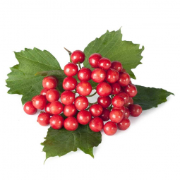 ягоды калины с листьями на белом фоне