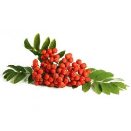 кисть ягод красной рябины с листьями на белом фоне