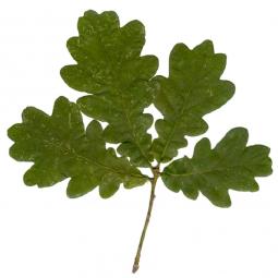 четыре дубовые листочка на веточке