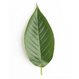 фото листа вишни на белом фоне