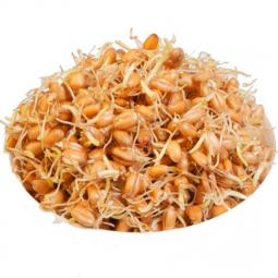 фото проросшей пшеницы в белой пиале