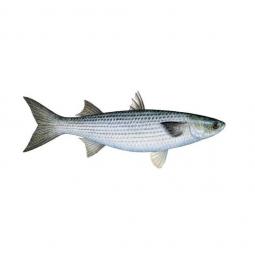 фото рыбы кутум на белом фоне