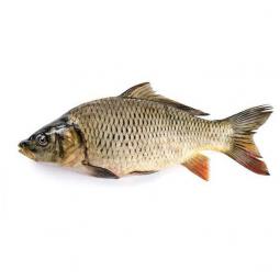 фото рыбы сазан на белом фоне