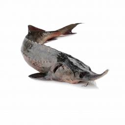 фото рыбы стерляди на белом фоне