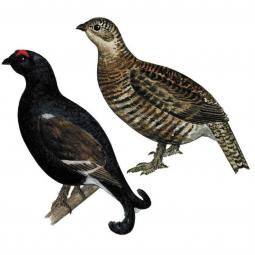 птица тетерев (мальчик и девочка) на белом фоне