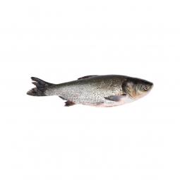 фото рыбы толстолобика на белом фоне