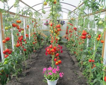 выращенные помидоры в теплице