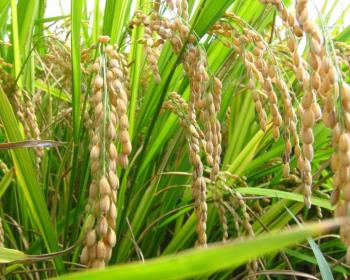 колоски риса