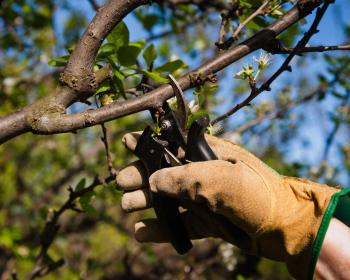 обрезка веток дерева секатором