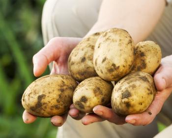 урожай картофеля в руках