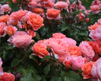 кустарники цветущих роз