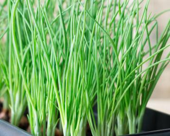 выращенный зеленый лук