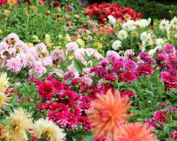 разноцветные георгины в поле