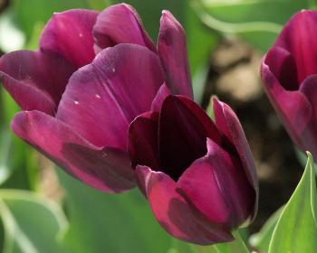 бутоны бордовых тюльпанов