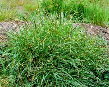 пырей, растущий в огороде