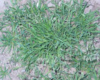 зеленый сорняк в почве