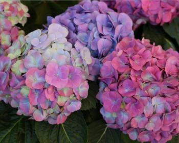 фиолетовые гортензии в саду