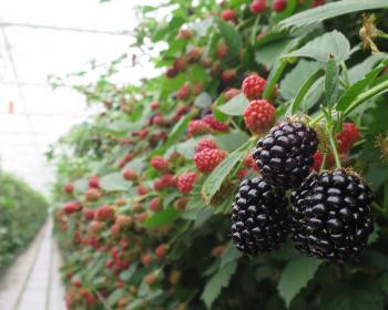 кустарники с красной и черной ежевикой