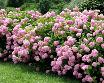 кустики розовой гортензии в саду