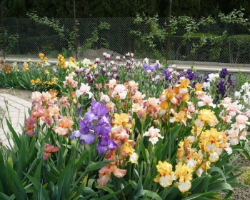 цветущие ирисы на клумбе