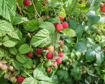 кустарник малины с ягодами