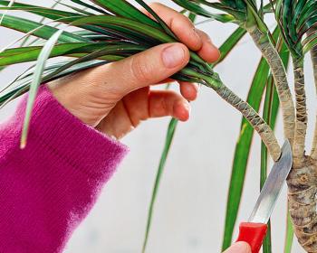 обрезка пальмы