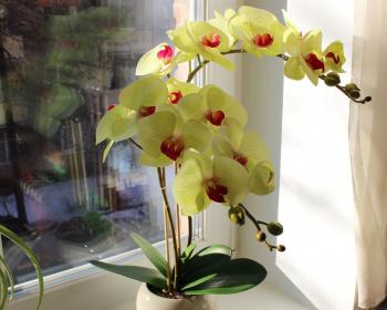 желтая орхидея в горшке