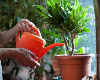 поливка комнатного растения в горшке