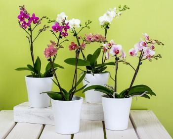 цветущие орхидеи в горшках